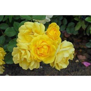Rosa Yellow Fairy