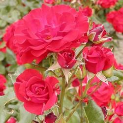 Rosa 'La Sevillana'®