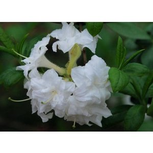 Azalea Rhododendron White Melody'