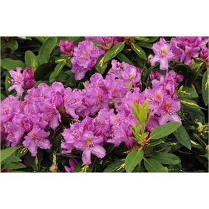 Rhododendron 'Carol. Allbrook'