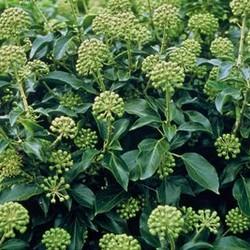 Hedera helix 'Arborescens'