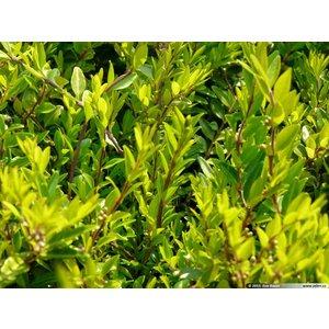 Lonicera pileata 'Moss Green'