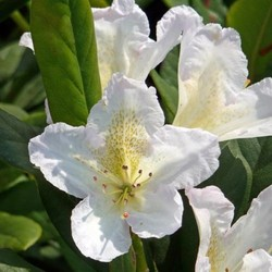 Rhododendron Silver Sixpence