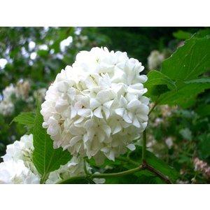 Viburnum Carlesii ''Sneeuwbal''
