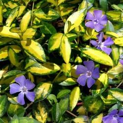 Vinca minor Blue and Gold (Kleine Maagdenpalm)