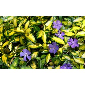 Vinca minor Blue and Gold (Kleine Maagdenpalm)