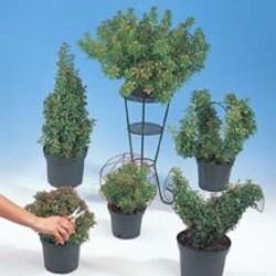 Pieris 'Little Heath Green'