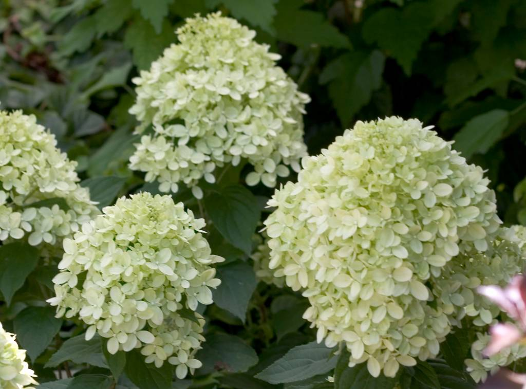 Hydrangea paniculata Little Lime kopen bij Tuincentrum Boskoops.nl - Online Tuincentrum