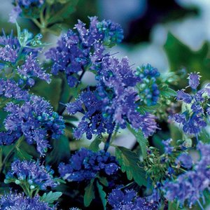 Caryopteris cland. 'First Choice'