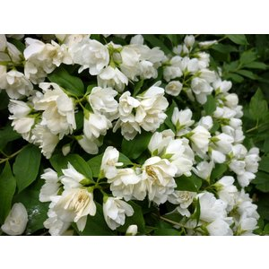 Philadelphus 39 manteau d 39 hermine 39 kopen bij tuincentrum online tuincentrum - Philadelphus manteau d hermine ...