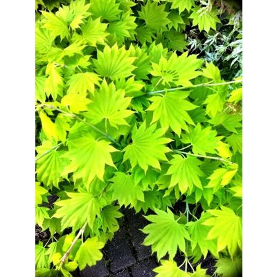 Acer shirasawanum Aureum