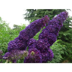 Buddleja davidii 'Black Knight'