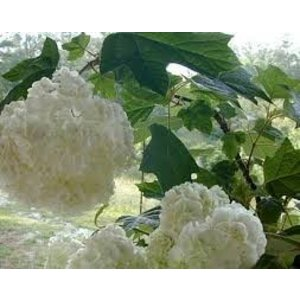 Hydrangea querc. 'Harmony'