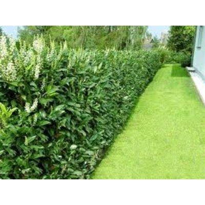 prunus laurocerasus 39 caucasica 39 kopen bij tuincentrum. Black Bedroom Furniture Sets. Home Design Ideas