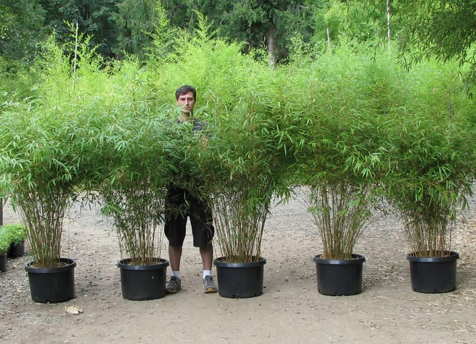 Bamboe fargesia panda kopen bij tuincentrum online tuincentrum - Winkel bamboe ...