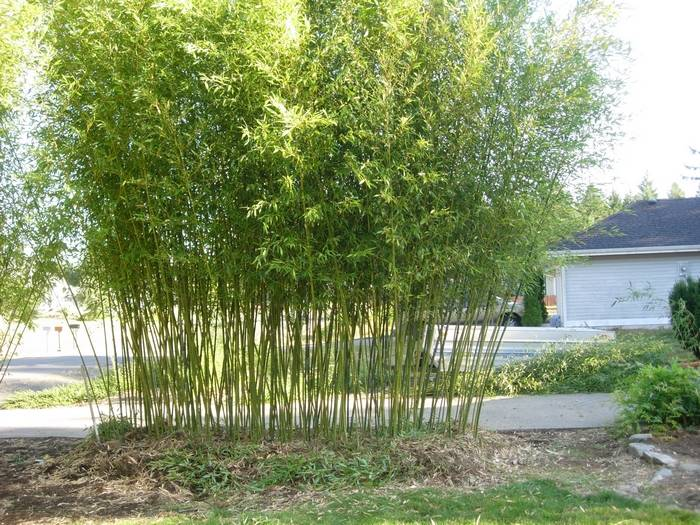 bambus phyllostachys bissetii bambus phyllostachys bissetii szk ka wrzos bambus phyllostachys. Black Bedroom Furniture Sets. Home Design Ideas