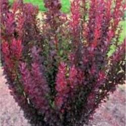 Berberis thunbergii 'Red Pillar'