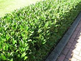 prunus laurocerasus 39 herbergii 39 kopen bij tuincentrum online tuincentrum. Black Bedroom Furniture Sets. Home Design Ideas