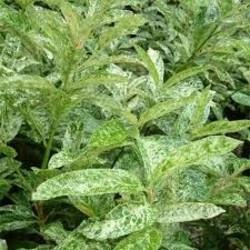 Prunus laurocerasus 'Marbled White'