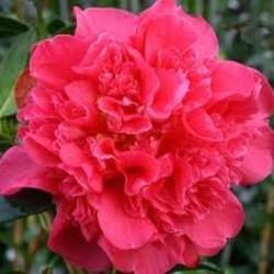 Camellia williamsii 'Anticipation'