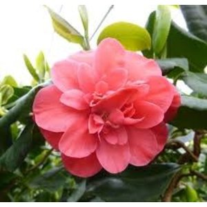Camellia japonica 'Curly Lady'