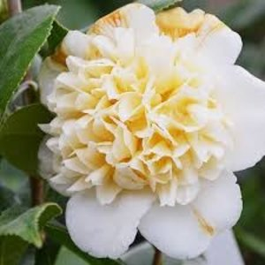 Camellia japonica 'Brushfield's Yellow'