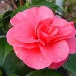 Camellia reticulata 'Mary Williams'