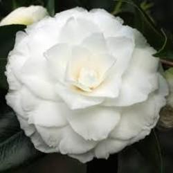 Camellia japonica 'Matterhorn'