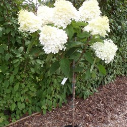 Hydrangea paniculata 'Grandiflora' op stam