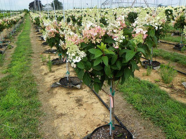 hydrangea paniculata 39 pinky winky 39 op stam kopen bij. Black Bedroom Furniture Sets. Home Design Ideas