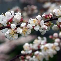 Prunus Elvins op stam