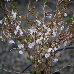 Prunus inc. 'Kojou-no-mai' op stam
