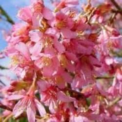 Prunus 'Okame' op stam