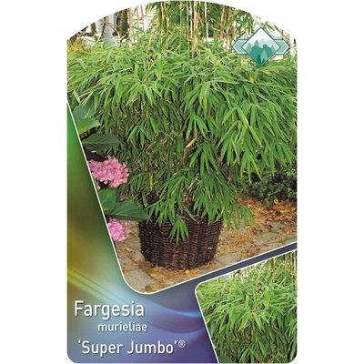 Bamboe Fargesia Super Jumbo