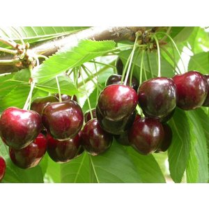 laagstam fruitbomen kopen bij tuincentrum online tuincentrum. Black Bedroom Furniture Sets. Home Design Ideas