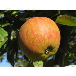 Appel Domestica 'Cox's Orange Pippin