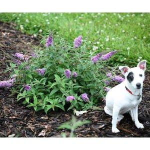 Buddleja davidii Lilac Chip