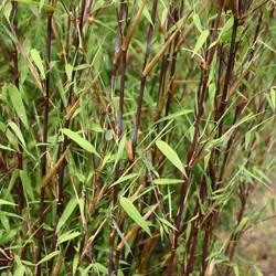 Bamboe Fargesia Winterblack