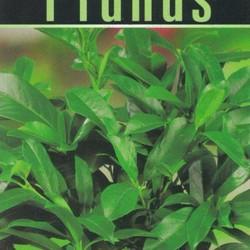 Prunus laurocerasus Polster