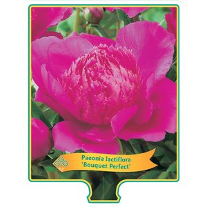 Paeonia 'Bouquet Perfect'