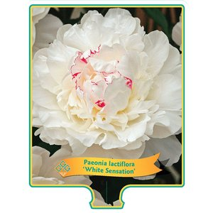 Paeonia 'White Sensation'