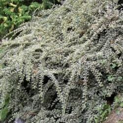 Cotoneaster atrop. 'Variegatus'