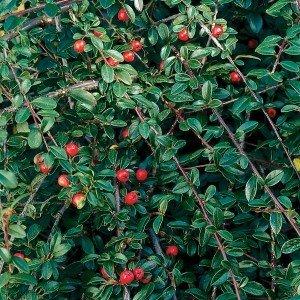 Cotoneaster kopen het goedkoopst bij online tuincentrum - Cotoneaster dammeri green carpet ...