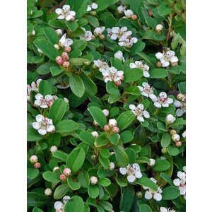 Cotoneaster pr. 'Queen of Carpets'