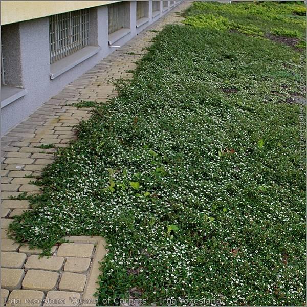 Cotoneaster pr 39 queen of carpets 39 kopen bij tuincentrum online tuincentrum - Cotoneaster dammeri green carpet ...