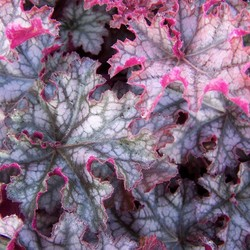 Heuchera 'Can Can' paars blad
