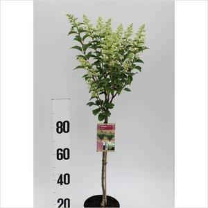 Hydrangea paniculata 'Kyushu' op stam