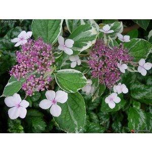 Hydrangea macr. 'Tricolor'