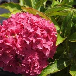 Hydrangea macr. 'Tovelill'