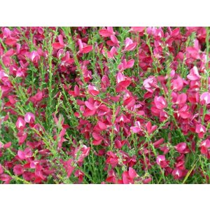 Cytisus 'Windlessham Ruby'